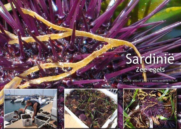Zee-egels gevangen in de wateren rond Sardinie